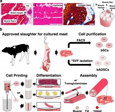 viande in vitro.jpg